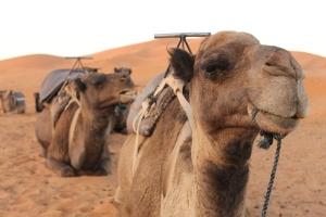 Camel in Moroccan Sahara